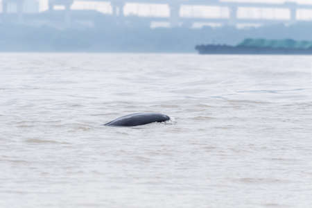 finless porpoise in the yangtze river, critically endangered Stock Photo - 131277529