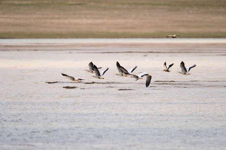bar-headed goose on plateau lake, anser indicus