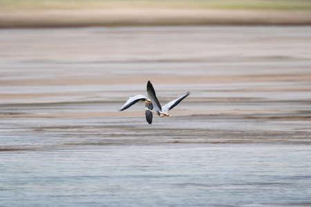 bar-headed goose in flight on tibetan plateau, anser indicus