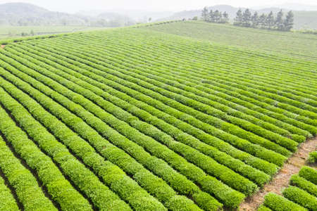green tea plantation landscape in spring