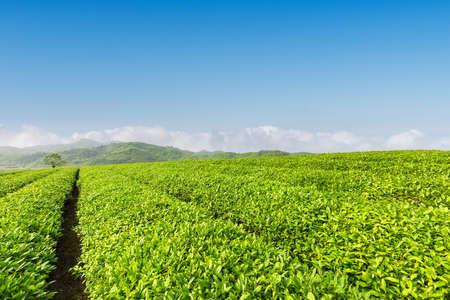 Plantación de té verde fresco en primavera soleada