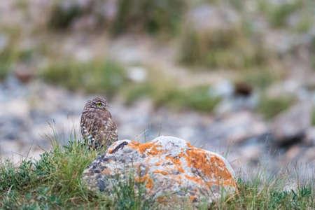 collared owlet on himalaya mountains