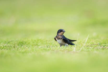swallow on the grass Imagens