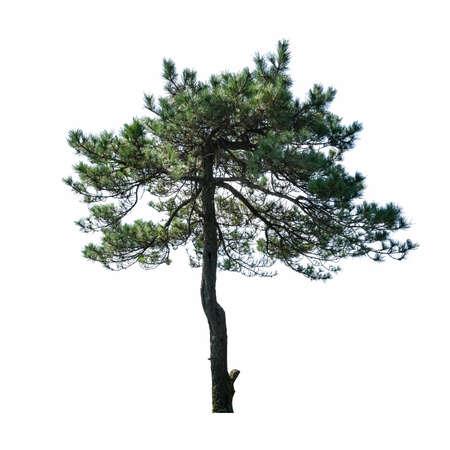 pine tree isolated on white background Imagens