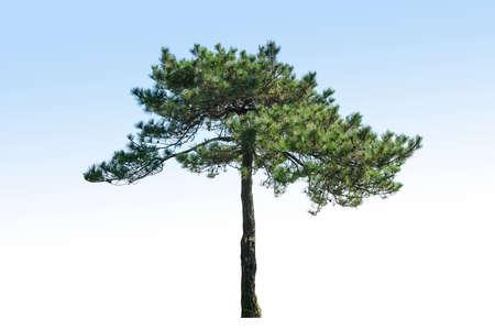 pine tree isolated on blue background Imagens