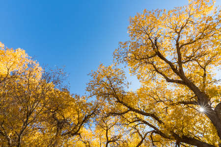 beautiful populus euphratica forest against a blue sky in autumn, inner mongolia, China Imagens