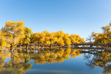 golden euphrates poplar forests in ejina, alxa league, inner mongolia, China