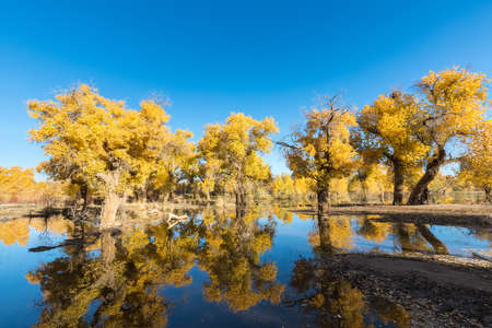 beautiful populus euphratica forest and reflection in the water on a clear autumn day in ejina, alxa league, inner mongolia, China Imagens
