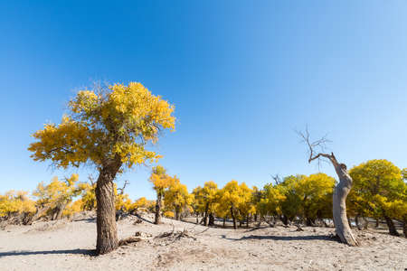 beautiful populus euphratica forest in autumn, strong life, inner mongolia, China