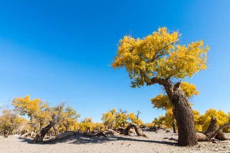 populus diversifolia against a blue sky, ejina, alxa league, inner mongolia, China