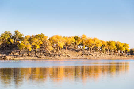 beautiful ejina poplar in autumn, inner mongolia, China Imagens