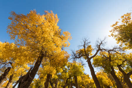 golden populus euphratica forest against a sunny sky in autumn, inner mongolia, China Imagens
