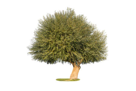 dry land willow isolated on white background, a species of willow native to dry areas of northern China Stock Photo
