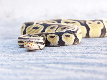 ball python pastel Stock Photo - 20431464