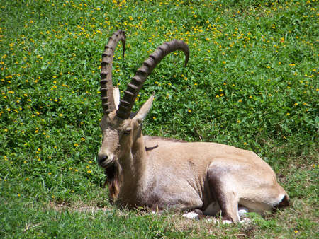 capra: Capra goat