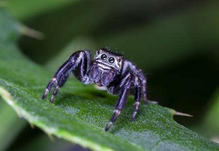 spider jumper, spider racer