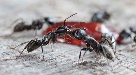 big forest ants