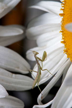 Mantis on flower