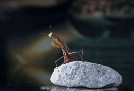 large female of the mantis