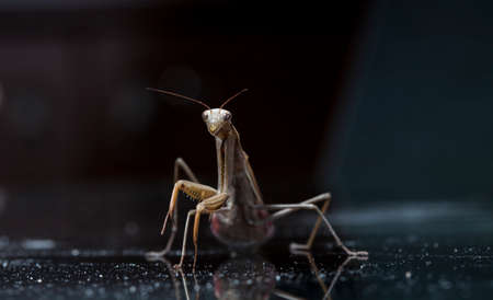 large female of the mantis on a glass surface