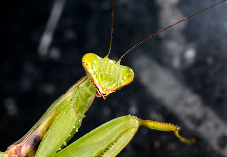 mantis close up Stock Photo