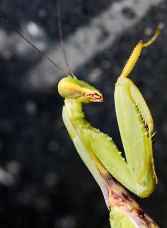 Mantis on dark background Stock Photo