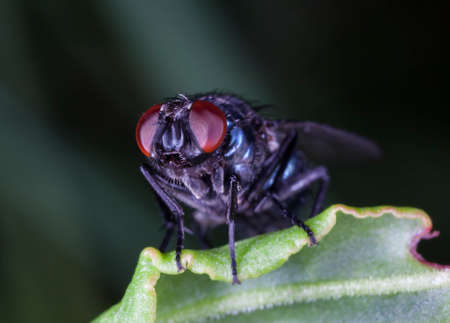 fly tachinidae