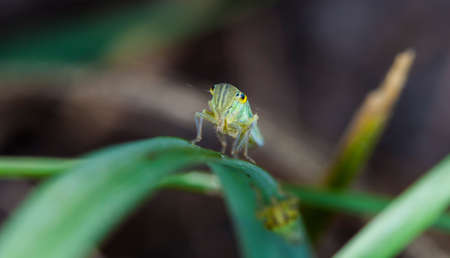 little cicada on a leaf of a grass Stock Photo
