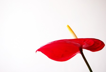 anturium: Anthurium flowers