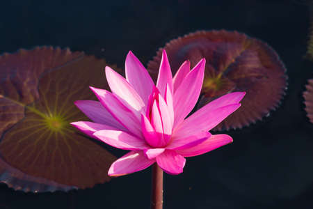 Pink lotus in the pond. photo