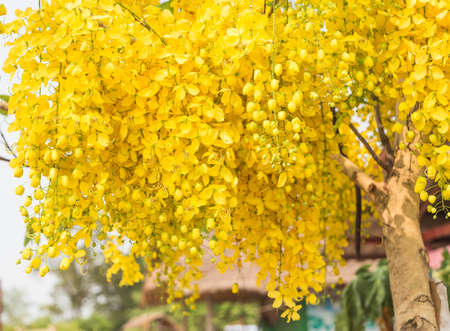 cassia: Cassia fistula in the garden.
