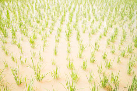 planting season: Paddy in the countryside during planting season.
