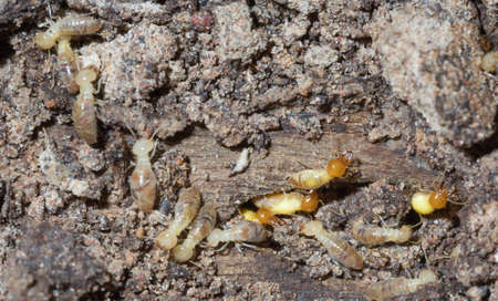 home destruction: Termites are alarmed because the nest was destroyed.
