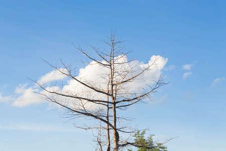 arboles secos: árboles muertos secos al aire libre durante el día. Foto de archivo