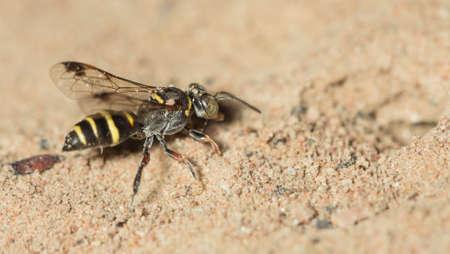 imago: Wasp are digging for embryo implantation.