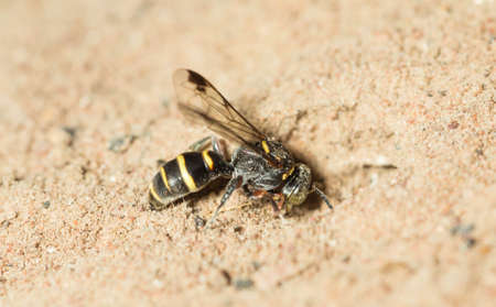 implantation: Wasp are digging for embryo implantation.