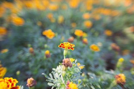 garden marigold: Marigold in the garden outdoors. Stock Photo