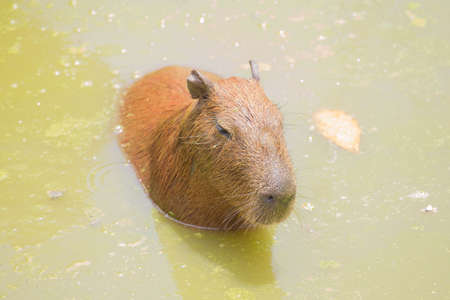 immersed: Capybara are immersed in water in the zoo.