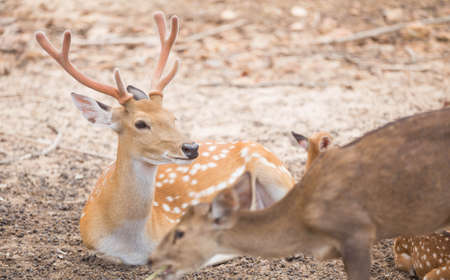 blotched: Deer sitting on the ground in the zoo.