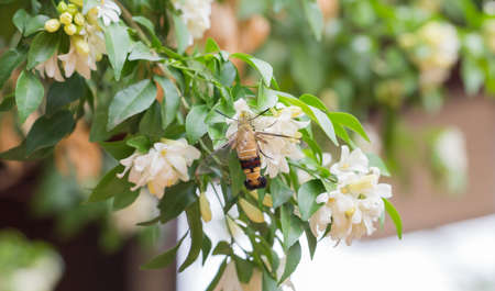 Orange Jessamine in the garden with hummingbird hawk moth searching for nectar. Stock Photo