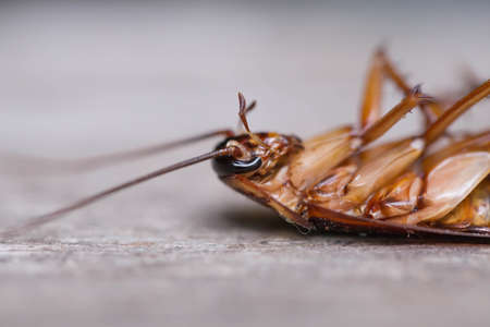 revolting: Dead cockroach on the old wooden floor.