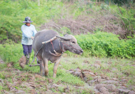 Thai farmers are using buffalo to plow.