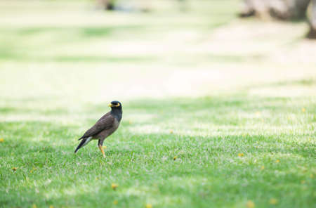 Hill Myna standing on the lawn. 스톡 콘텐츠