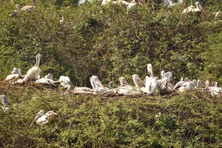 group of beautiful pelican and it's babies sitting on the tree, on the lake, in india and also we can see other white cranes. Banco de Imagens - 138195248
