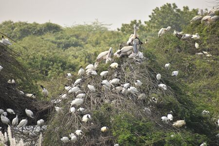 group of beautiful pelican and it's babies sitting on the tree, on the lake, in india and also we can see other white cranes. Banco de Imagens - 138195485