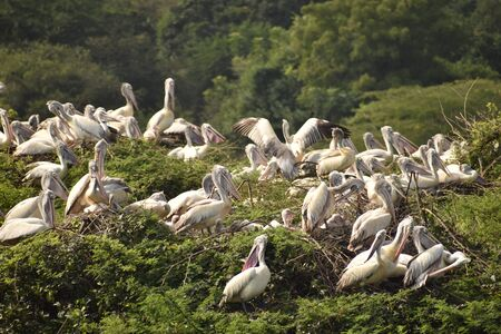 group of beautiful pelican and its babies sitting on the tree, on the lake, in india and also we can see other white cranes.