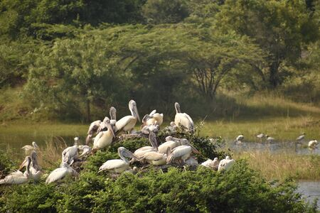 group of beautiful pelican and it's babies sitting on the tree, on the lake, in india and also we can see other white cranes. Banco de Imagens - 138196252