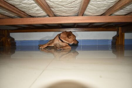 Cute puppy lying inside the cot, young golden retriever dog under the cot. Archivio Fotografico