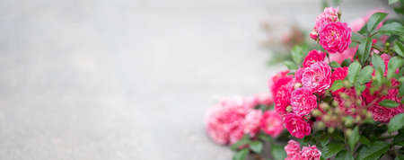 Beautiful background with bright pink roses, place for text, selective focus Reklamní fotografie