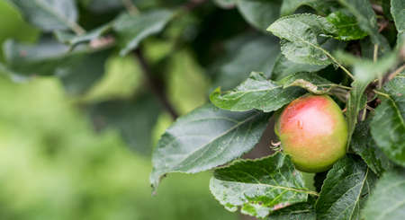 fresh apple on apple tree branch, selective focus, place for text